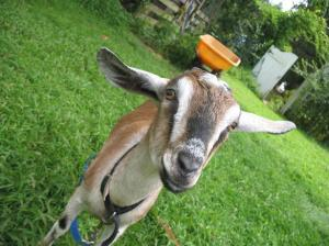 Mapleville Farm goat